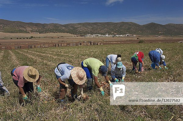 Ecological agriculture  Onions  Navahermosa - Sierra de Yeguas  Malaga-province  Region of Andalusia  Spain  Europe.