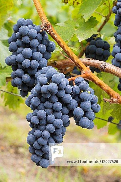 Vineyards. Pomerol. Bordeaux wine region. Aquitaine Region  Gironde Department. France Europe.