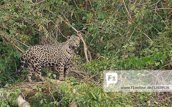 Jaguar (Panthera onca) hält Ausschau  dichte Ufervegetation  Pantanal  Mato Grosso  Brasilien  Südamerika