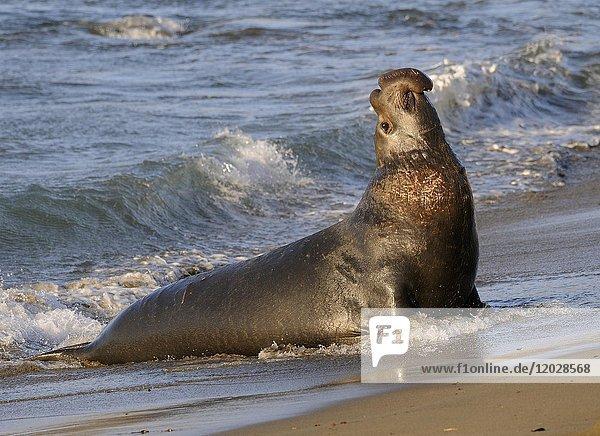 Nördlicher See-Elefantenbulle (Mirounga angustirostris) geht an Land  Strand von San Simeon  Piedras Blancas Kolonie  Kalifornien  USA  Nordamerika