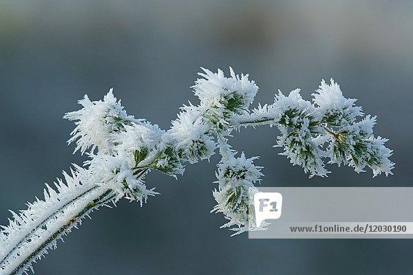 Eiskristalle am Gras  Hessen  Deutschland  Europa