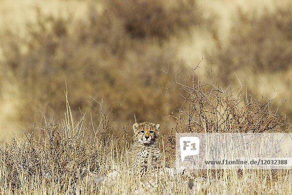 Cheetah (Acinonyx jubatus). Cub. Kalahari Desert  Kgalagadi Transfrontier Park  South Africa.