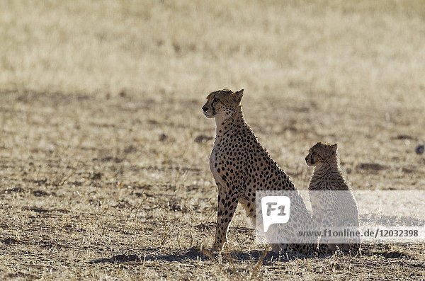 Cheetah (Acinonyx jubatus). Female with cub. Kalahari Desert  Kgalagadi Transfrontier Park  South Africa.