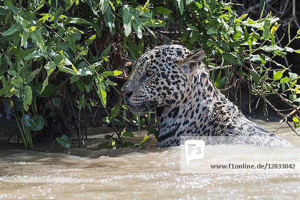 Jaguar (Panthera onca)  Weibchen  im Wasser  Cuiaba Fluss  Pantanal  Mato Grosso  Brasilien  Südamerika