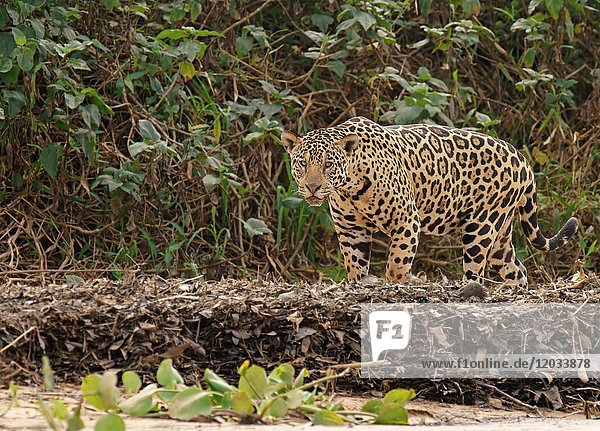 Jaguar (Panthera onca) läuft an Uferböschung  Pantanal  Mato Grosso  Brasilien  Südamerika