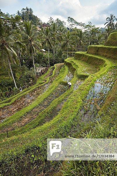 Tegalalang Rice Terrace. Tegalalang village  Bali  Indonesia.