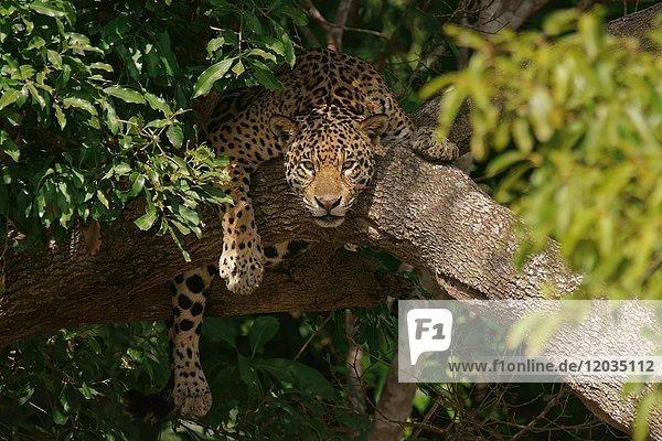 Jaguar (Panthera onca) liegt im Baum und hält Ausschau  Pantanal  Mato Grosso  Brasilien  Südamerika