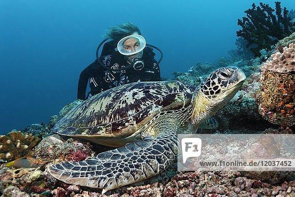 Taucher  Grüne Merresschildkröte (Chelonia mydas)  Indischer Ozean  Malediven  Asien