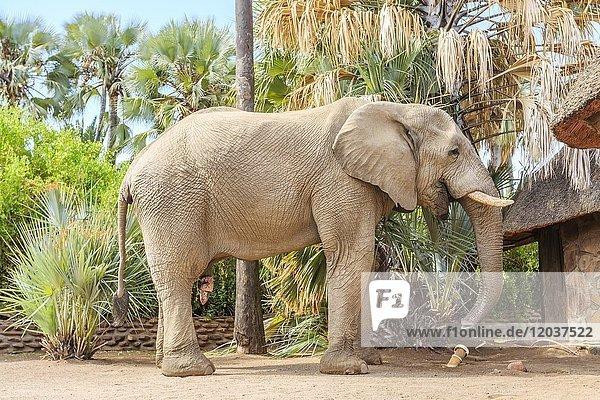 Elefantenbulle (Loxodonta africana) auf dem Gelände der Palmwag Lodge  Damaraland  Region Kunene  Namibia  Afrika