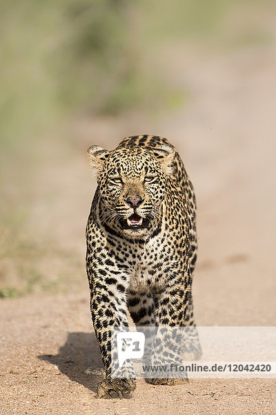 Leopard (Panthera pardus) in Sabi Sands  Greater Kruger  South Africa  Africa