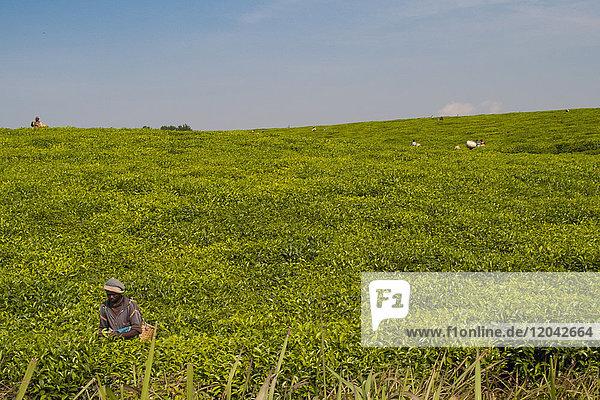 Tea pickers picking tea  Rwanda  Africa
