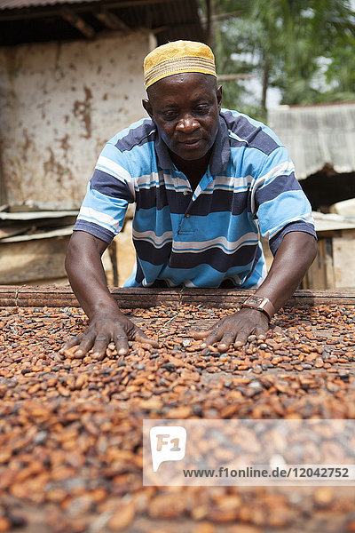 A cocoa farmer spreading out some cocoa beans on bamboo matting to dry in the sun  Ghana  West Africa  Africa