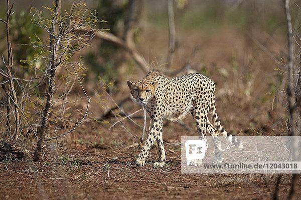 Cheetah (Acinonyx jubatus)  Kruger National Park  South Africa  Africa