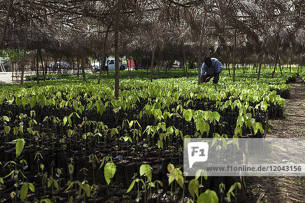 A man tends to small cocoa trees at a cocoa nursery in Ghana  West Africa  Africa