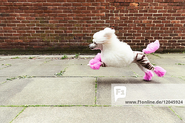 Seitenansicht eines gepflegten Hundes mit gefärbtem  rasiertem Fell