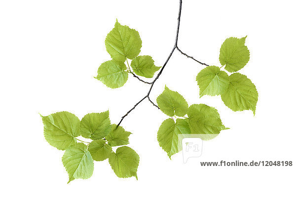 Close-up of lime tree (Tilia) leaves on a branch on a white background  Germany
