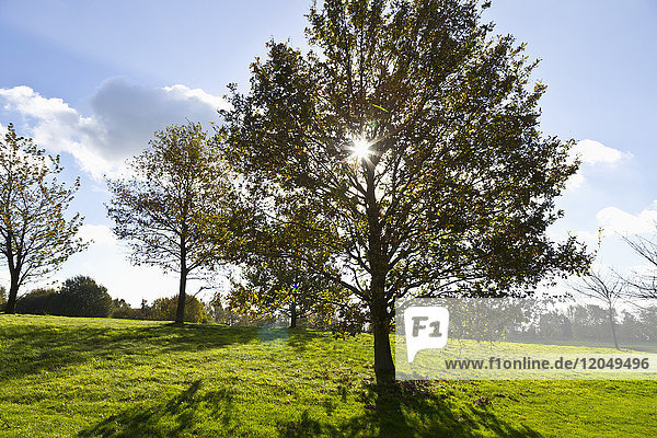 Sun through Foliage of Tree on Golf Course  Hosel  North Rhine-Westphalia  Germany