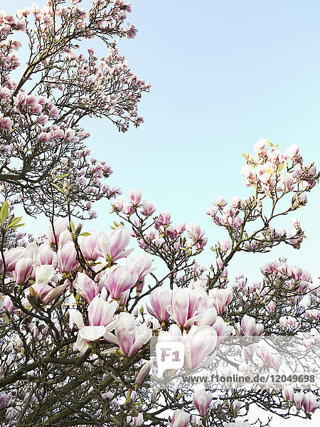Magnolia Blossoms  North Rhine-Westphalia  Germany