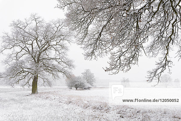 Snow Covered Old Oak Trees  Hesse  Germany