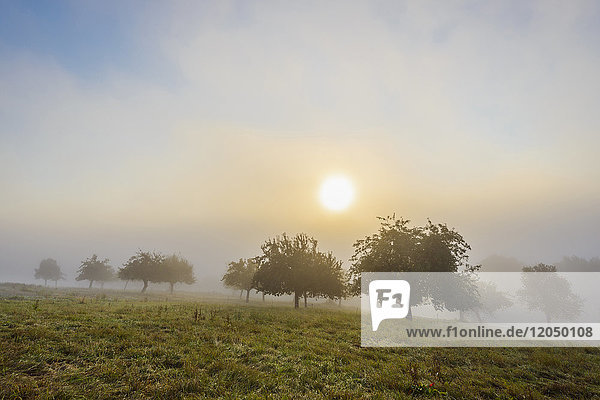 Countryside with apple trees in fields and the sun glowing through the morning mist in Grossheubach in Bavaria  Germany