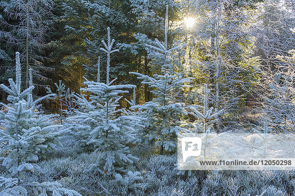 Coniferous forest with hoarfrost and sun shining through the trees in the Odenwald hills in Bavaria  Germany