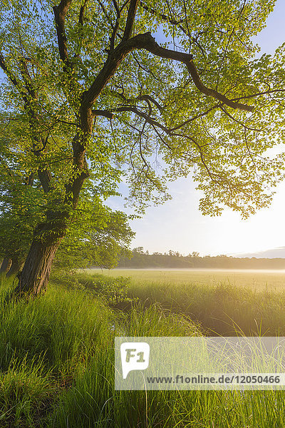Springtime landscape with tree branch hanging over grassy field with mist and golden sunlight in Hesse  Germany