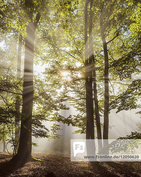 Forest in the morning with sun rays through the haze in the Odenwald hills in Hesse  Germany