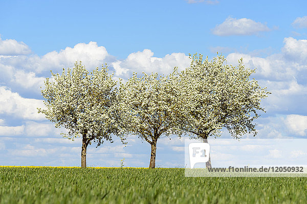 Three Pear Trees in Spring  Spielbach  Baden-Wurttemberg  Germany