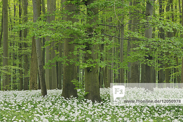 Ramsons (Allium ursinum) in a beech tree (fagus sylvatica) forest in spring in the Hainich National Park in Thuringia  Germany