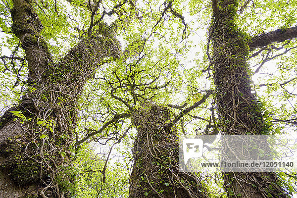 Ivy vines surrounding old gnarled tree trunks in springtime on the Isle of Skye in Scotland  United Kingdom