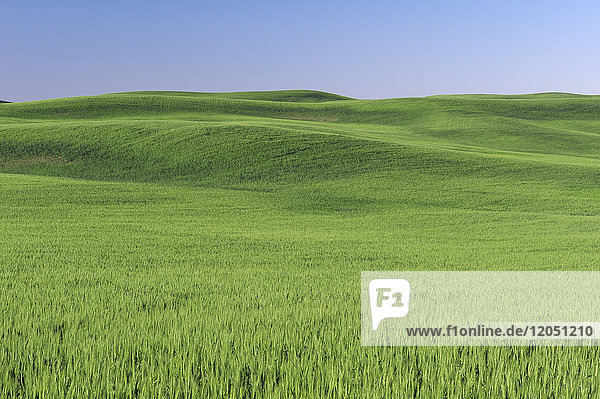 Green wheat field and blue sky in the Palouse Region near Colfax in Whitman County  Washington State  USA