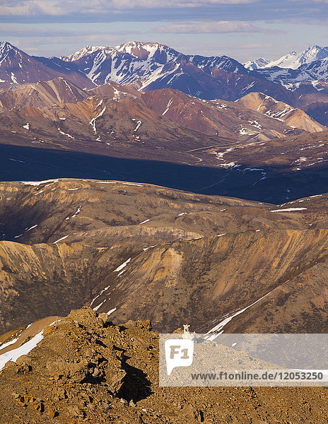 A Dall sheep (ovis dalli) rests on a ridge in Denali National Park in early summer; Alaska  United States of America