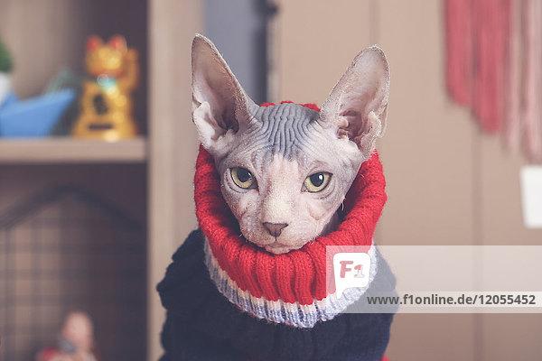 Portrait von Sphynx Katze mit Pullover Portrait von Sphynx Katze mit Pullover