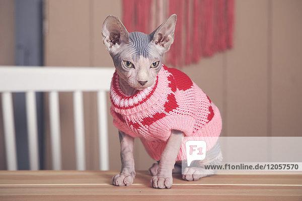 Portrait der Sphynx-Katze auf dem Tisch mit rosa Pullover Portrait der Sphynx-Katze auf dem Tisch mit rosa Pullover