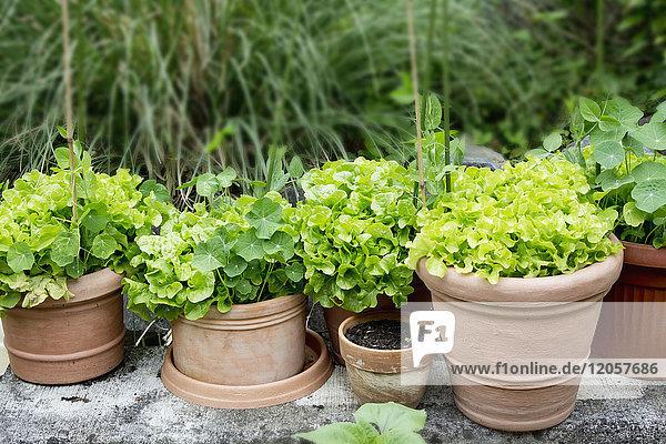 Kapuzinerkresse und Salatvariation in Pflanzentöpfen im Garten