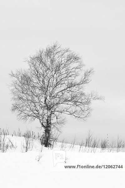 Snow-covered winter landscape with solitary tree in the mid-distance  Biei.