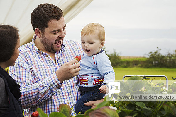 Fruit picking in a poly tunnel  PYO. A family and a baby boy picking and tasting strawberries from plants grown on raised platforms