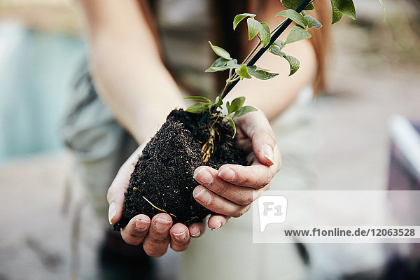 A person holding a small plant and rootball  preparing for planting.