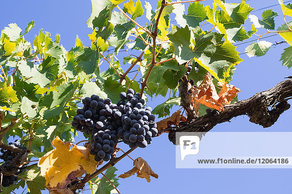 Close-Up of growing grapes on Vine against sky