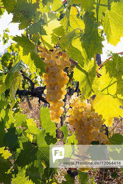 Close-Up of growing grapes on Vine
