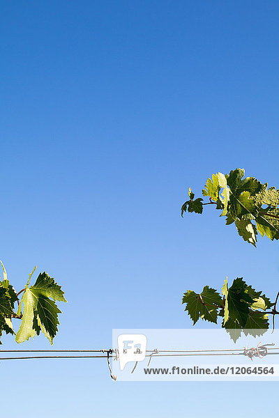 Close-Up of growing grape Vine against sky