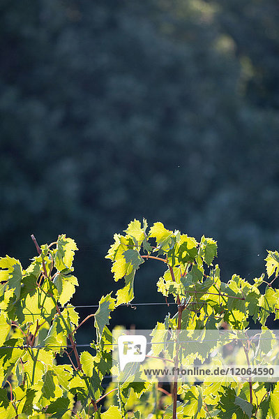 The vine with sunshine in the morning