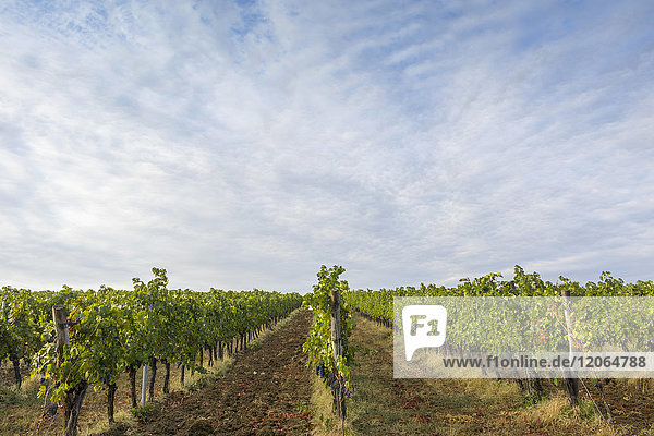 Scenic view of vineyards landscape in Tuscany
