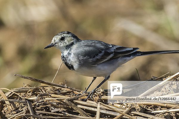 Germany  Saarland  Homburg - A white wagtail on a field is searching for fodder.