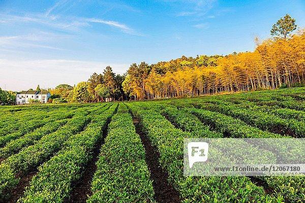 Tea plantation of Taihu Lake Wuxi City Jiangsu Province China