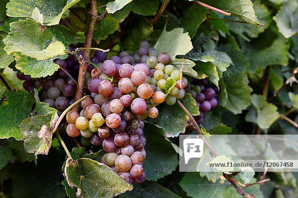 Close up of Ripe Gewürztraminer grape cluster at the bottom of vines at By Chadsey's Cairn winery in Prince Edward County Ontario Canada.
