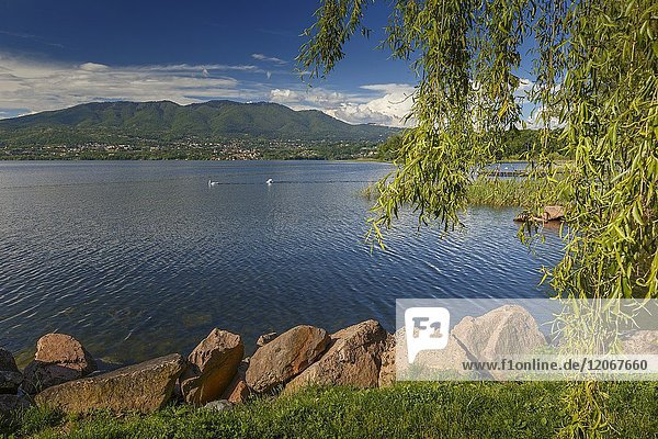 Salix babylonica (Weeping willow) frames the lake front of lake Varese from Cazzago Brabbia  Varese province  Lombardy  Italy  Europe.
