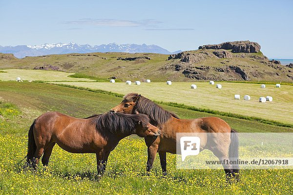 Wild horses  region vesturland  Iceland.