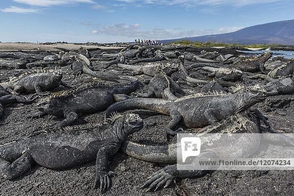 The endemic Galapagos marine iguana (Amblyrhynchus cristatus) basking on Fernandina Island  Galapagos  UNESCO World Heritage Site  Ecuador  South America