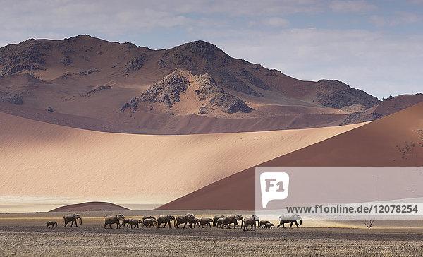 Herd of elephants crossing desert